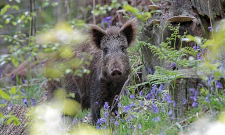 A female wild boar in the Forest of Dean in the UK. The expanding boar population in Italy has led to accidents with cars and anger among farmers because of lost crops