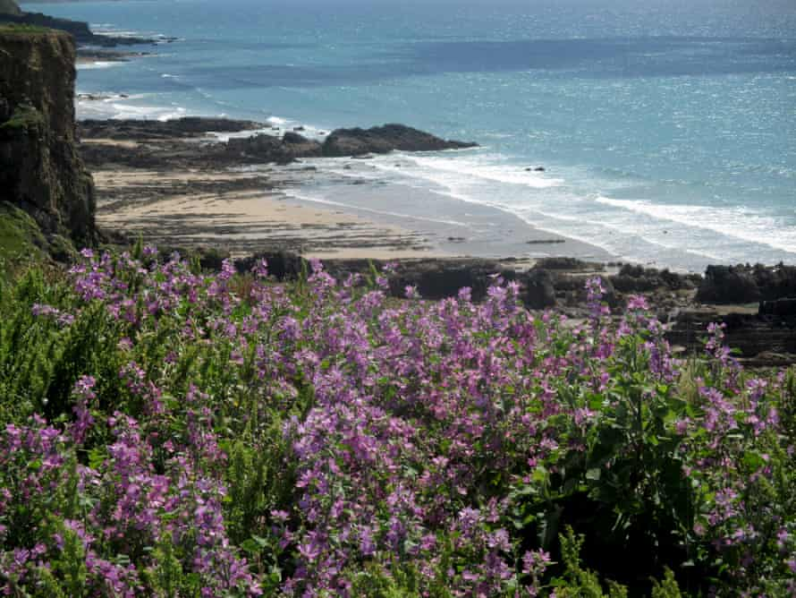 The rocky shore by Northcott Mouth, with mallow in the foreground.