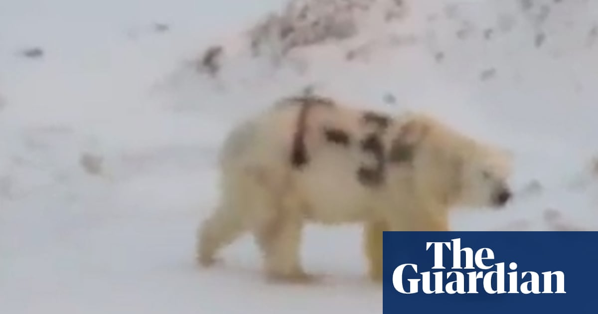 Polar bear daubed with graffiti sighted in Russia – video