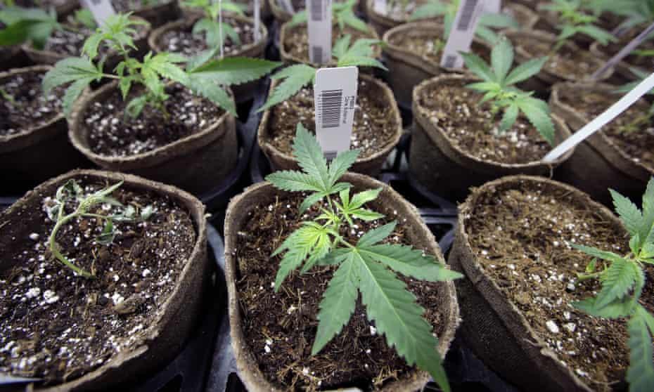 Cannabis cuttings