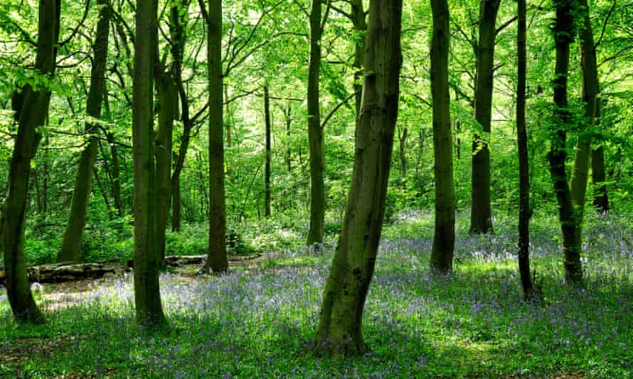 Bluebells in Epping Forest, London