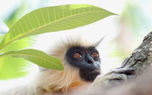 The monkey briefly made eye contact and then slipped away. Today, there are just six left on the island, and, with much of the vegetation having been cleared, the leaf-eating monkeys are forced to depend mainly on junk food from visitors.