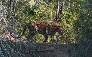 A leopard in Sri Lanka's Yala national park, the country's most visited nature reserve