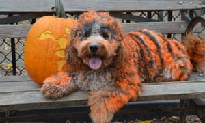 A dog dyed to look like a tiger in the Tompkins Square Halloween Dog Parade 2015