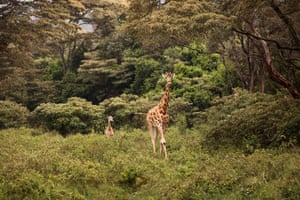Situated 10km outside Nairobi city centre, this private giraffe sanctuary is centred around a colonial manor house named Giraffe Manor. Living within the grounds is a herd of rare Rothschild giraffe.