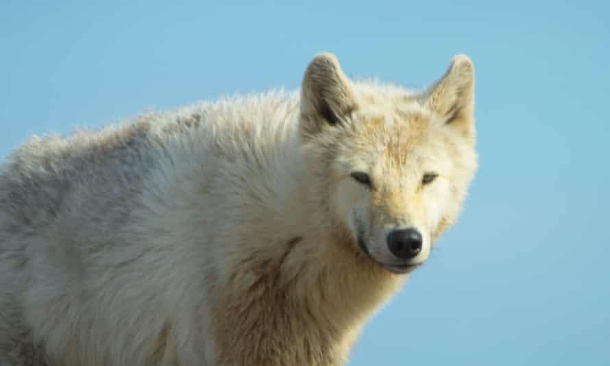 An arctic wolf hunts for caribou on the Canadian tundra.