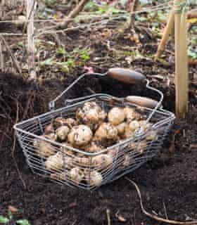 Jerusalem Artichokes 'Fuseau' in a metal basket