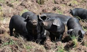 Birth-To-Plate Pig Farming At Jonai Farms & Meatsmiths