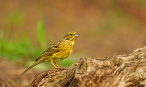 A female yellowhammer resting on a tree stump.
