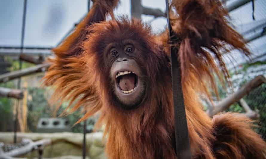 Chester Zoo's Sumatran orangutan, Tuti.