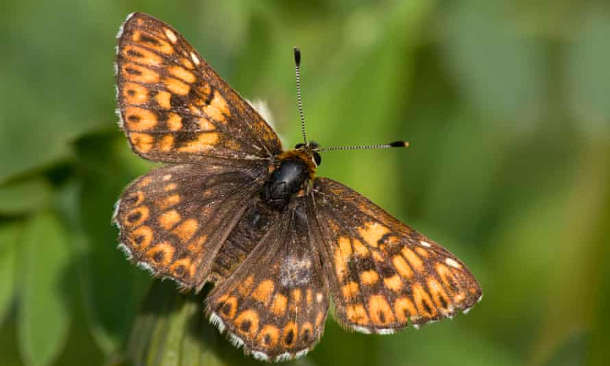 In spring 2020, one of the biggest colonies of Duke of Burgundy butterflies was discovered in Dorset.