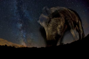 <strong>GDT European wildlife photographer of the year, October</strong><br>Winner mammals: <em>Night star</em> by Bence Mate (Hungary)<br>'I have always tried to explore new fields in nature photography. I especially like photographing animals at night ... this photo was made using a remote control camera that I had put in an old fish box. It was difficult to estimate in advance the necessary balance between the flash light and the natural light from the stars. I also hoped that I would not scare away the animal as the wild boars in our area are extremely shy. Luckily, it stood still during the shot.'