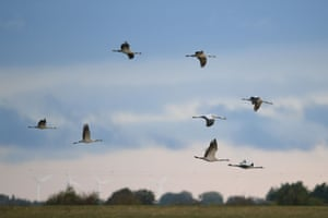 Cranes at the Wildfowl & Wetlands Trust centre at Welney in Norfolk, where 33 cranes have made their home