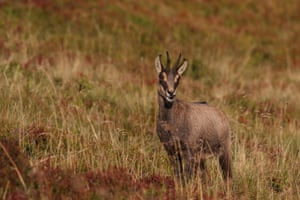 Chamois (Rupicapra rupicapra) – a species of goat-antelope – in the Vosges Mountains, France