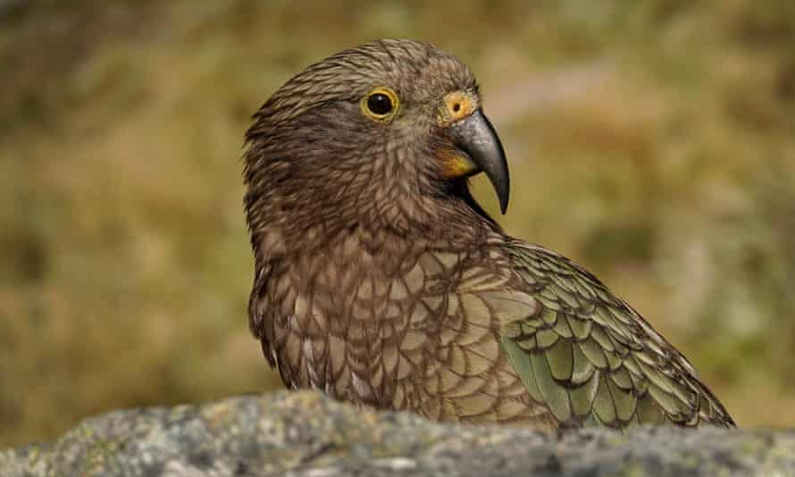 The kea, one of New Zealand's endangered native birds
