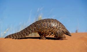 Pangolin walking in the desert