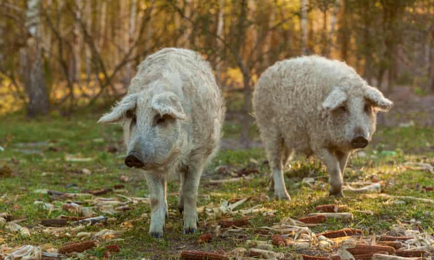 Two mangalica pigs