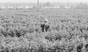 Margaret Thatcher waist-deep in blackcurrant bushes during a visit to Appleford Farm, Rivenhall, Essex, during a General Election campaign photocall, 29 May 1987
