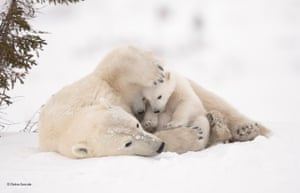 Warm embrace  When polar bear mothers and cubs emerge from their dens in the early spring, the cubs stay close to their mothers for warmth and protection. Once the cubs are strong and confident, they make the trek to the sea ice with their mother so that she can resume hunting for seals. Debra waited six days near the den of this family, in Wapusk National Park, Canada, before they finally emerged. In the most challenging conditions she has ever faced, temperatures ranged from -35˚C to -55˚C with high winds, making it almost impossible to avoid frostbite and keep her camera gear functioning