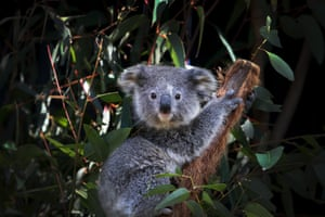 A young female koala named Ash sits on a Eucalyptus branch  at the Australian Reptile Park in Sydney