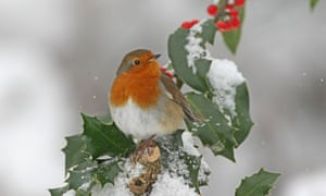 Robin on snowy holly tree
