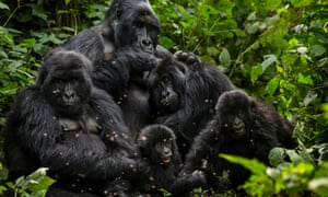 The Bageni family in the gorilla sector of Virunga National Park.