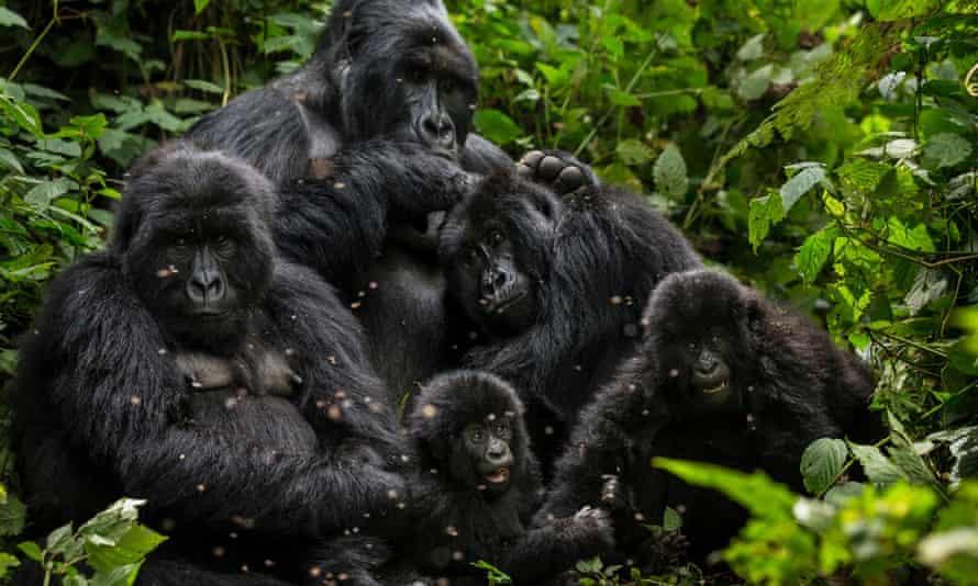 The Bageni family in the gorilla sector of Virunga National Park.