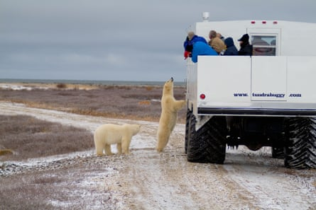 A polar bear looks into a Tundra Buggy to see tourists in Churchill, Manitoba.