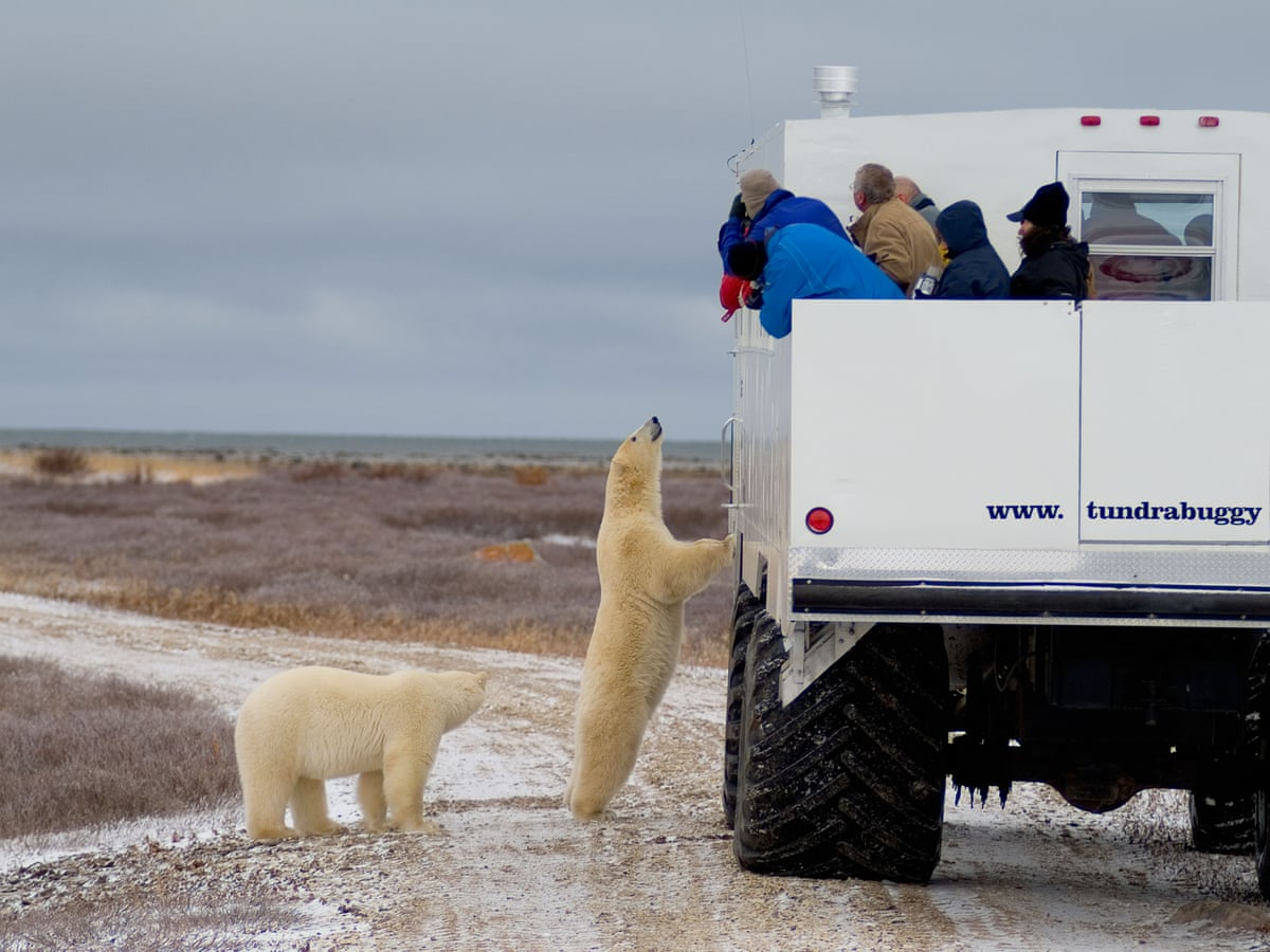 If It Gets Me It Gets Me The Town Where Residents Live Alongside Polar Bears Canada The Guardian