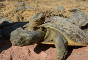 Turtles rescued from poachers bask in the sun in Gauriganj village near the Indian town of Amethi
