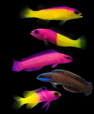 The bicolour dottyback inhabits coral reefs in the Indo- Pacific ocean at depths down to 27m (90ft).