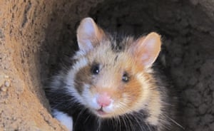 A European hamster looks out of a hole
