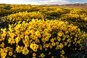 Yellow coreopsis wildflowers blooming in the Carrizo Plains national monument in southeastern San Luis Obispo County, California.