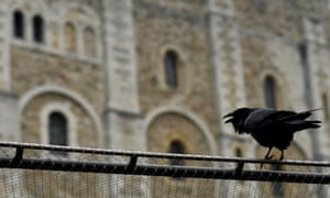 A raven sits on the fence of the Tower of London. The birds have been restless for company since the coronavirus crisis.