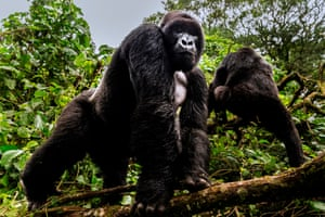 Alpha male silverback mountain gorillas from the Mpua family in the Jomba rainforest