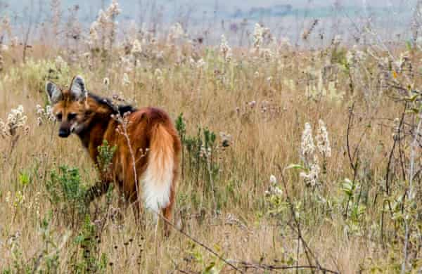 A maned wolf, which occurs primarily in the Cerrado and in the Chaco regions and is considered near threatened.