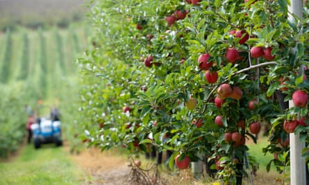 British gala apples at an orchard in Kent.