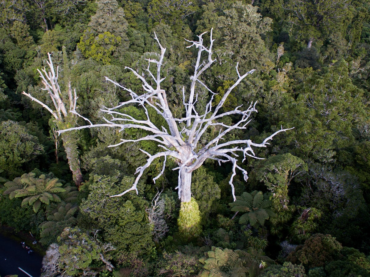 Walking Death Entitled Locals Hiking New Zealand S Kauri Trees Into Extinction New Zealand The Guardian Find the perfect kauri tree stock photos and editorial news pictures from getty images. walking death entitled locals hiking