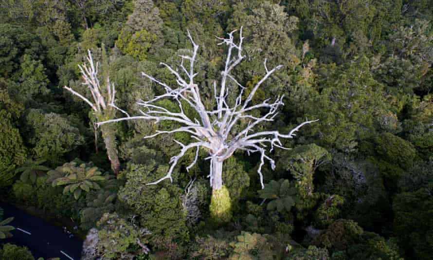 A native kauri tree seen in a Northland forest