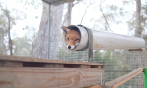 A fox in an enclosure at the Sydney Fox Sanctuary