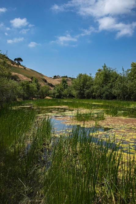 An algal bloom in a flood channel next to Silicon Beach in the Ballona Wetlands, Playa Vista, California. Excess fertilizer applications on farms also trigger major algal blooms that can contaminate drinking water.