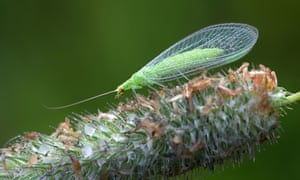 Common green lacewing, Chrysoperla carnea, beneficial predator of aphids.