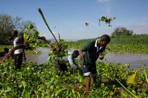 Harvesting water hyacinth