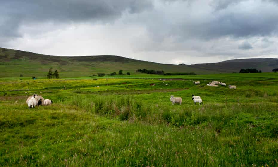 Count the sheep … a typical scene from a Scottish road trip.