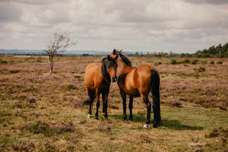 Two commoner-owned horses on the heathland.