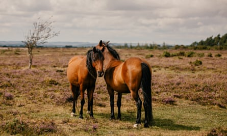 Two Commoner-owned horses stand on the heathland. New Forest, Hampshire, UK. 24th August 2020.