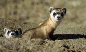 The US Fish and Wildlife Service (FWS) hope to bombard a ferret habitat in Montana with a vaccine administered via specially designed drones.