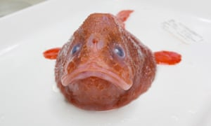 Gorgeous red coffinfish