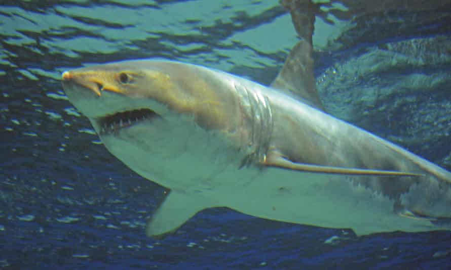 A photograph released by the aquarium in Okinawa shows the shark swimming in a water tank.