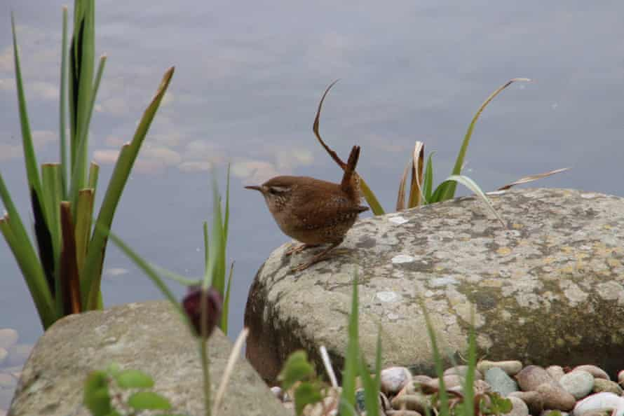 A wren gets ready for its close-up in Lancaster.